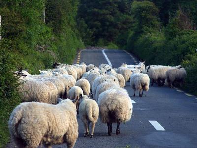 Cloned Sheep?