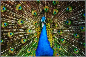 paycut_peacock1.jpg